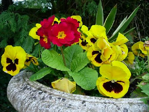 Pansies and Primulas in one of the urns